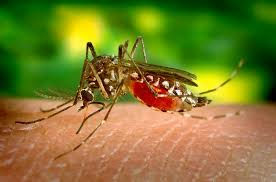 A common summer insect is the Mosquitoes